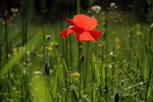 poppy-