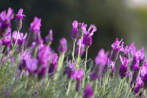 Lavender Field at University of Washington Medicinal Herb Garden