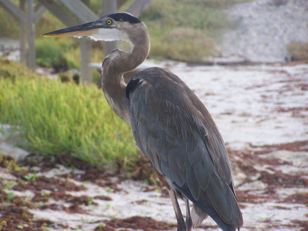 great-blue-heron-South Padre Island