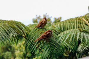 Aviary (bird) species on Maui
