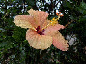 Flower-found-on-Maui
