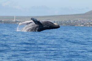 Whale breaching off the coast of Maui