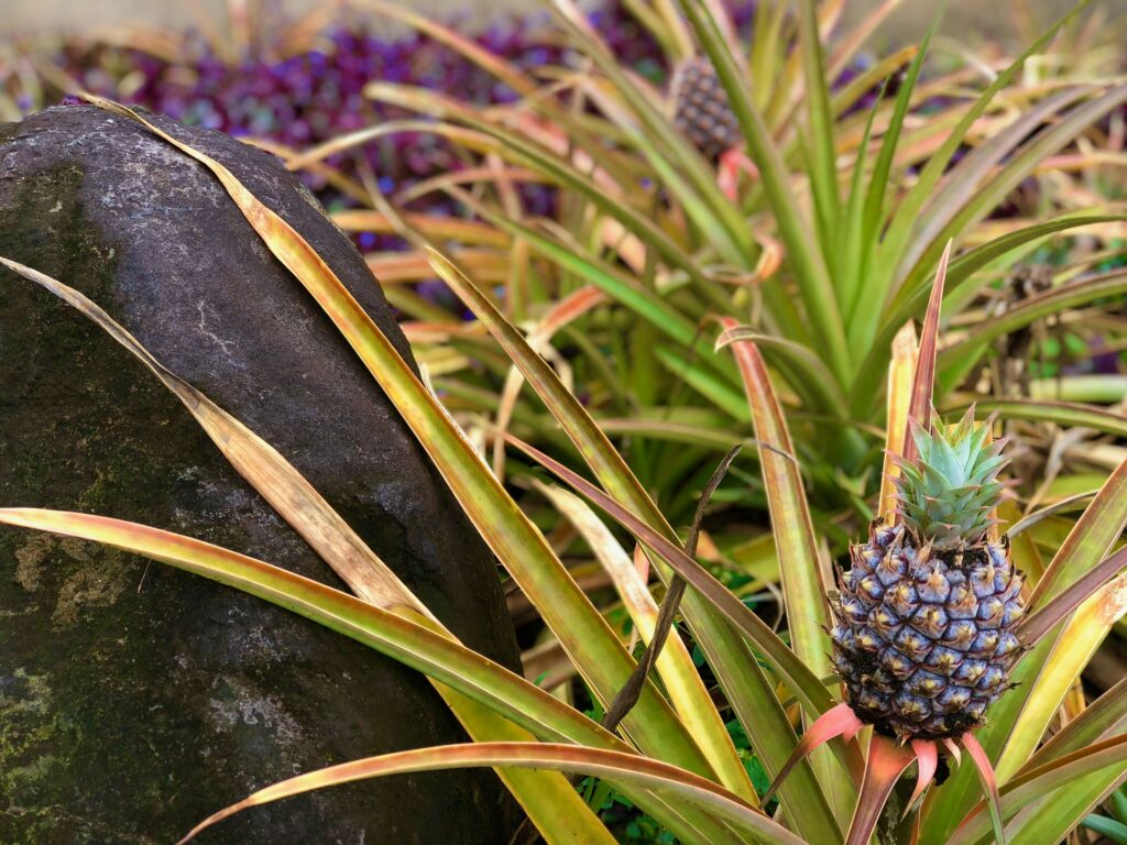 hawaii-pineapple-maui
