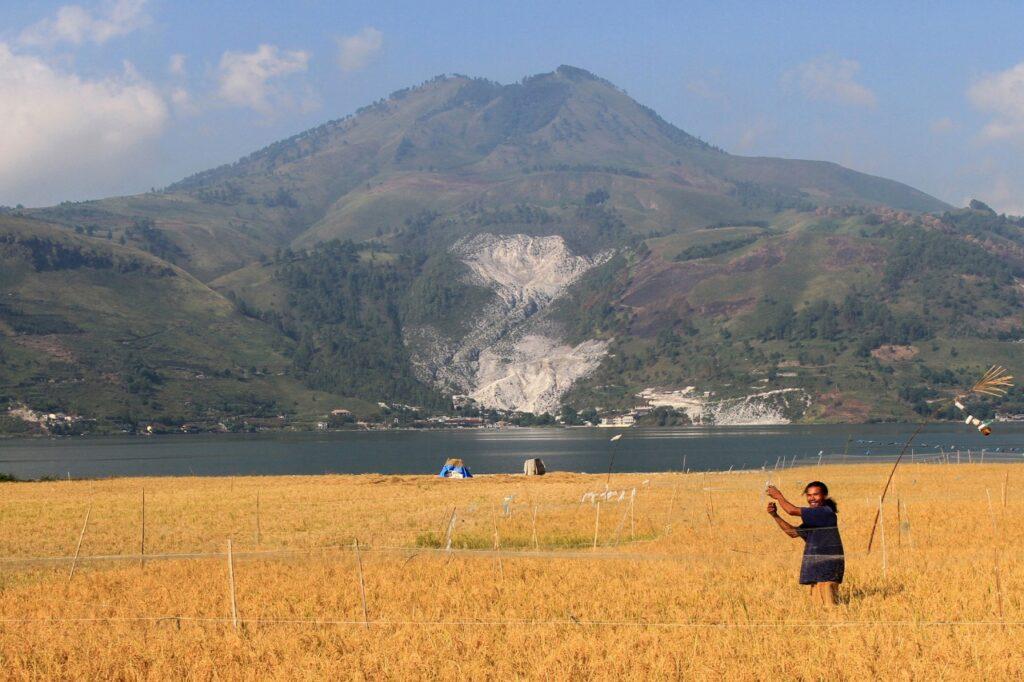 Community rice farming near Lake Toba at Panyabungan Village.