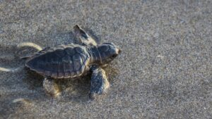 Baby sea turtle making it's way to the ocean after hatching