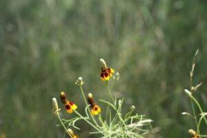 Lady-Bird-Johnson-wildflower-center-featuring-a-mexican-hat-flower