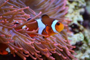 Marine Conservation - anemone-fish-marine life must be preserved in our oceans