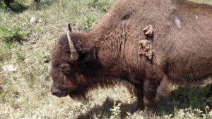 bison-found-in-Custer-State-Park