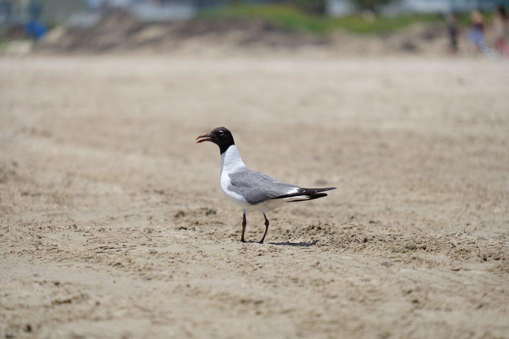 seagull-on-a-Galveston-Beach