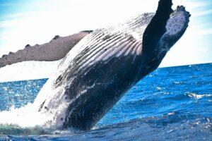 Whale breaching photo