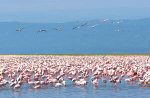 Kenyan flamingoes. Photo: David Murphy NOTM