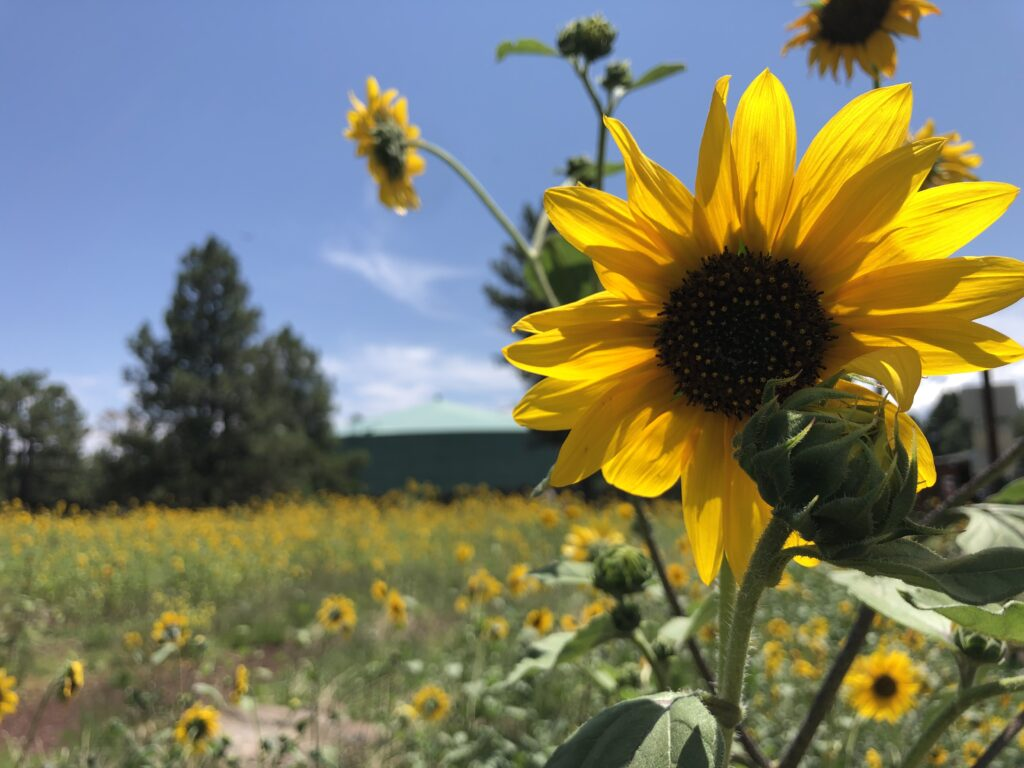 Sunflower fields. Breana Johnson