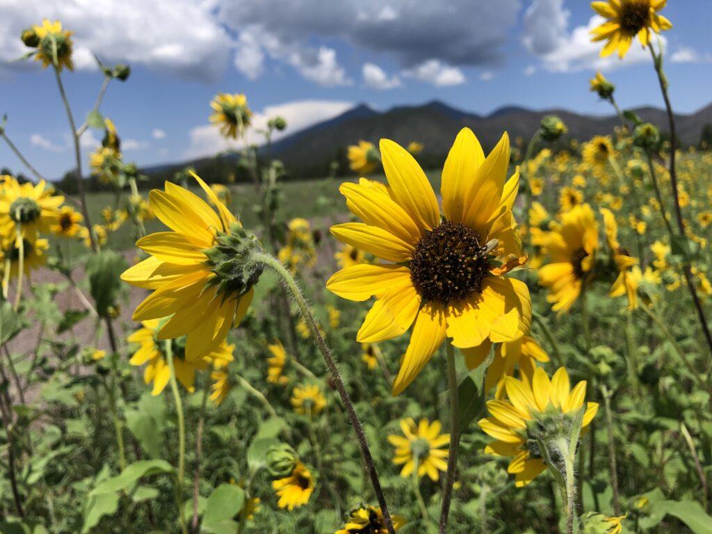Sunflowers in Buffalo Park. Photo: Breana Johnson