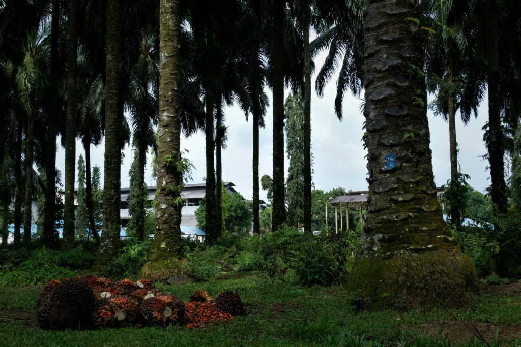 London Sumatera one of a oil palm plantation from dutch colonial still operating until today. Photo: Nayla Azmi