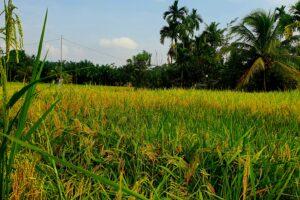 Paddy Fields in Timbang Lawan village. Photo: Nayla Azmi