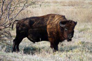 South Dakota badlands bison